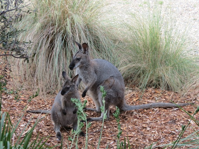 mother wallaby and joey
